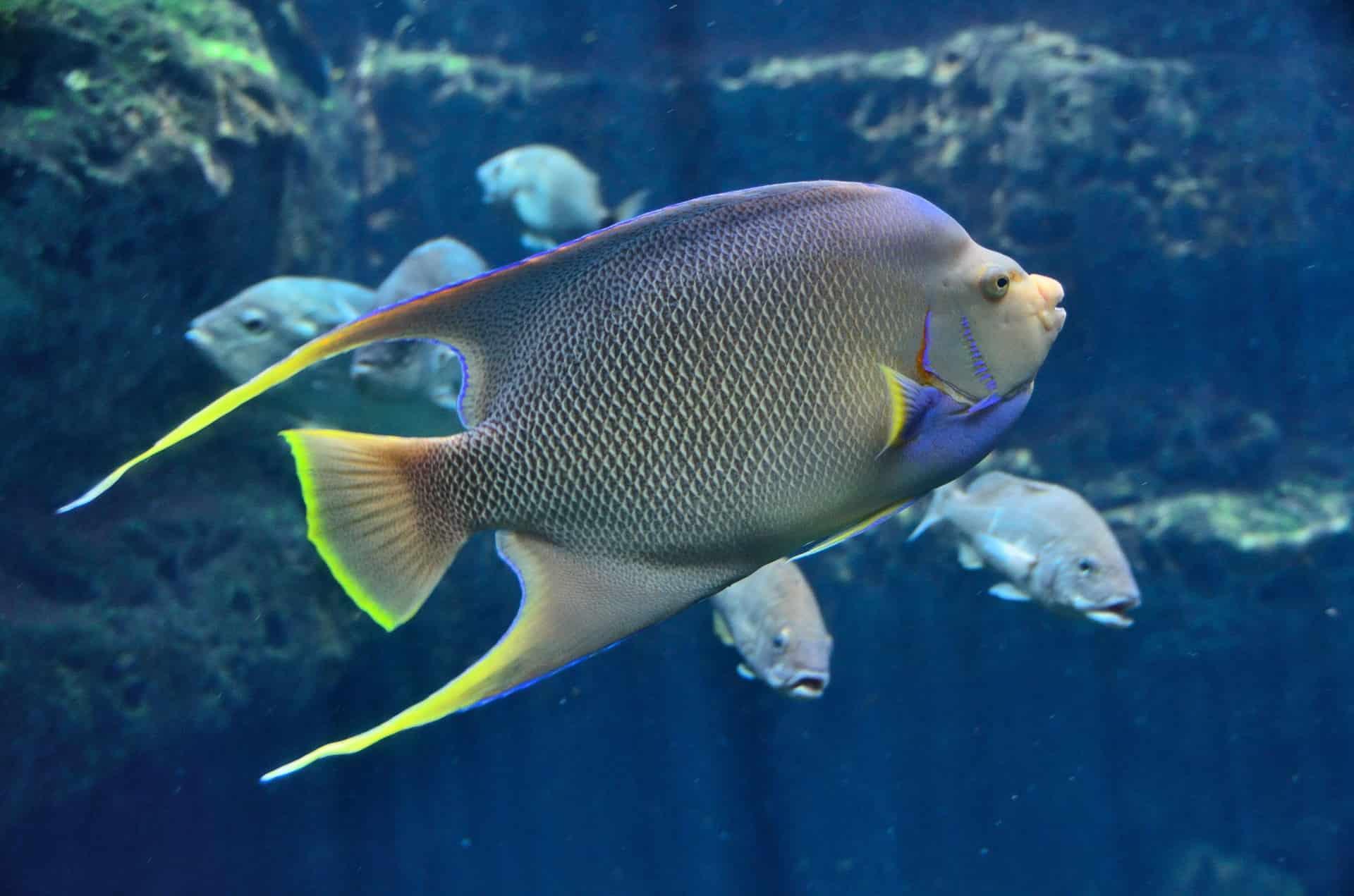 Tropischer Fisch Kaiser