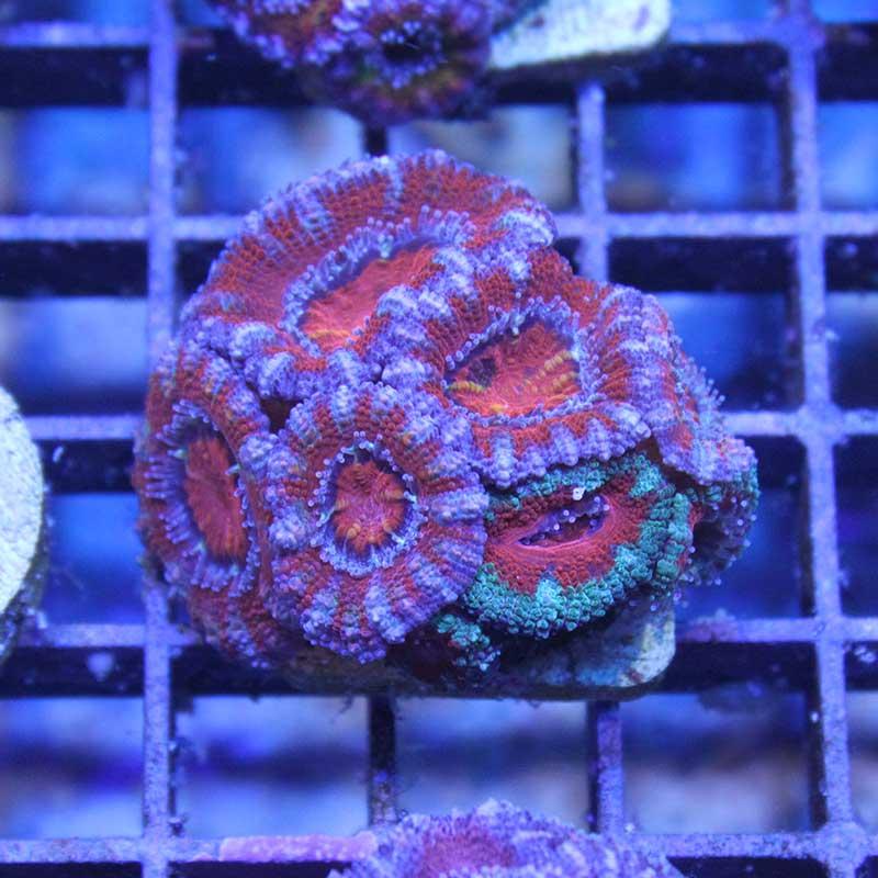 Acanthastrea double color