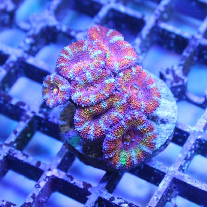 Acanthastrea pink rainbow