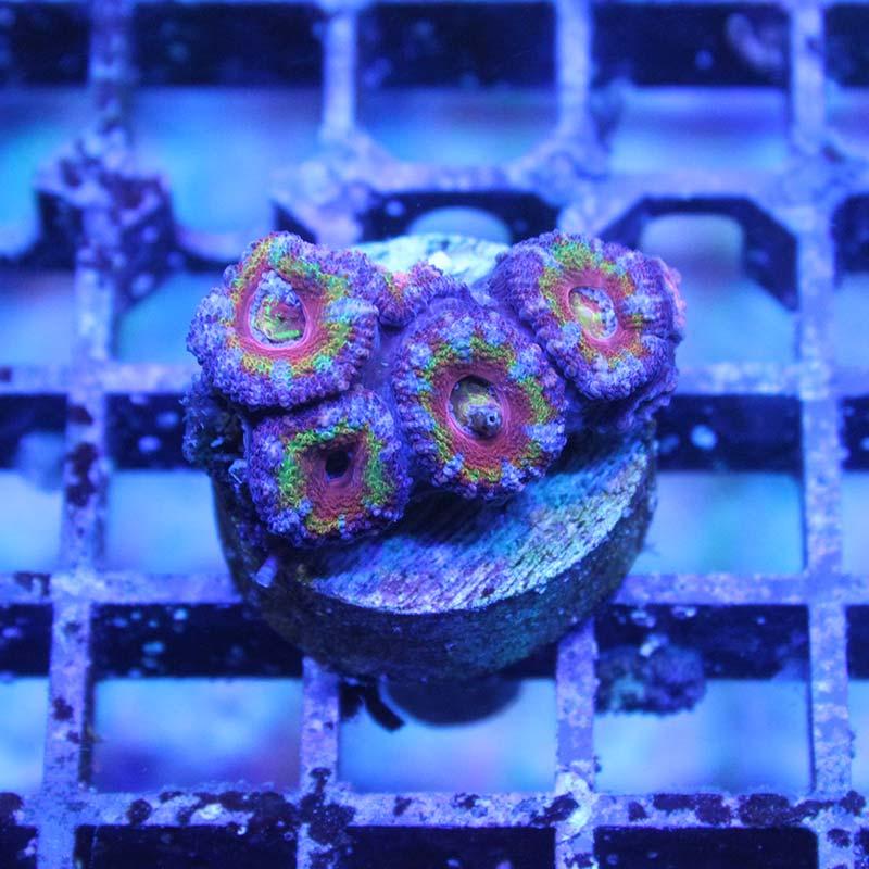 Acanthastrea purple rainbow