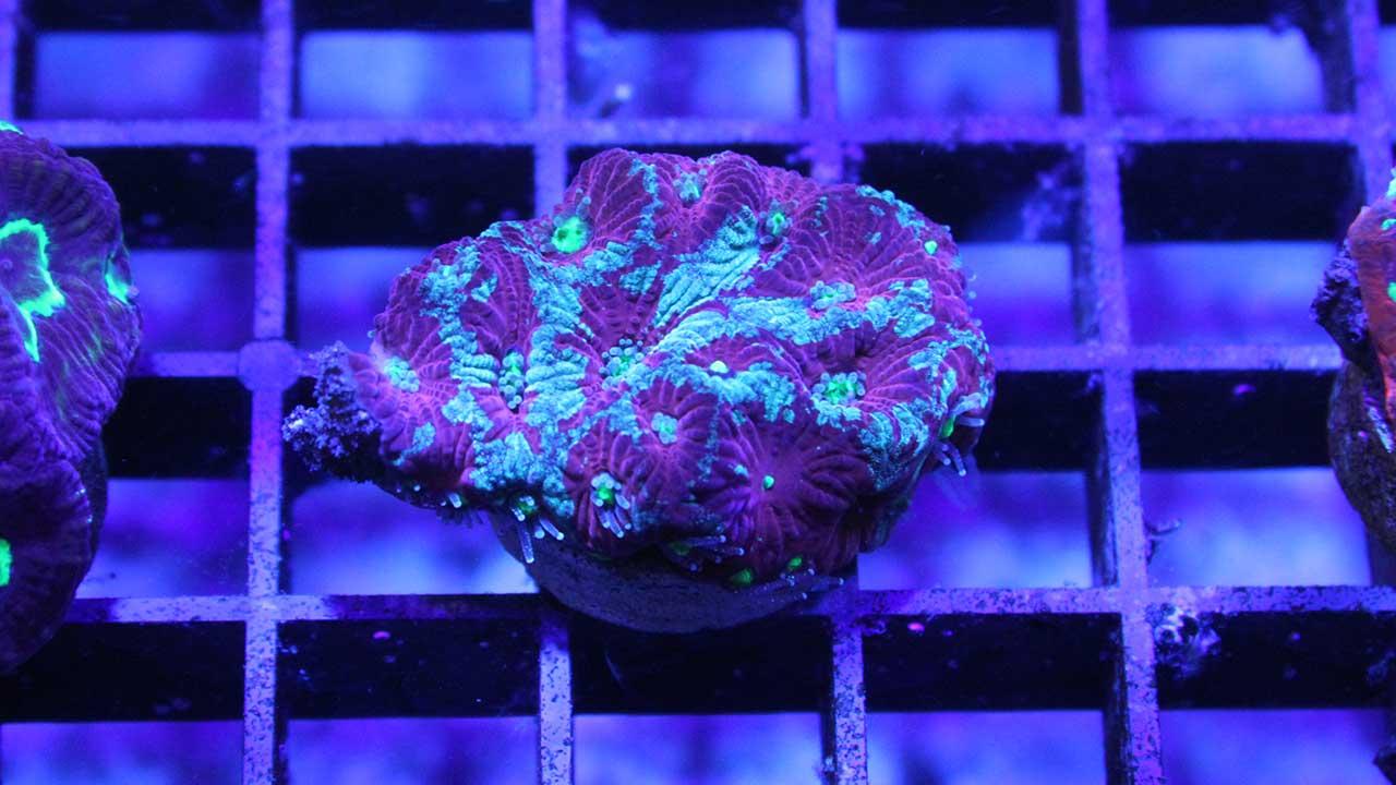 Favites war coral