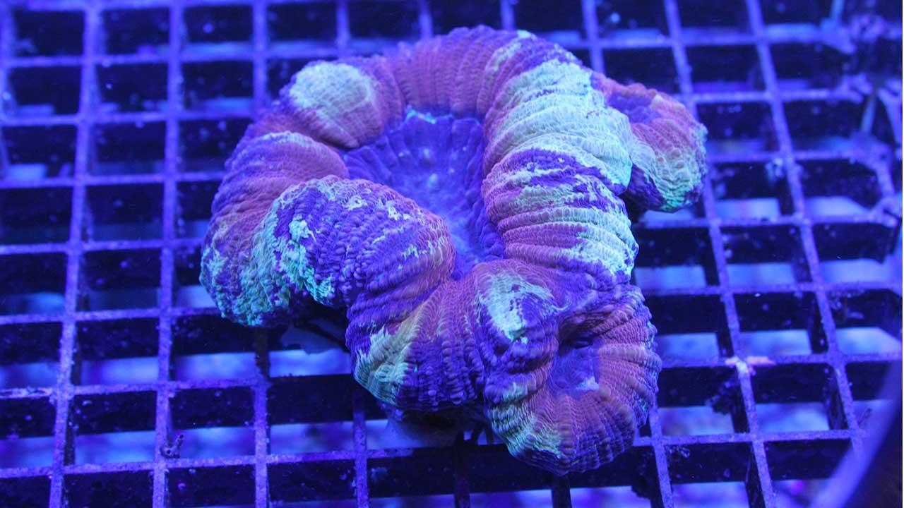 Lobophyllia war coral
