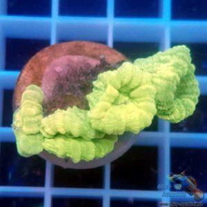 Caulastrea furcata neon