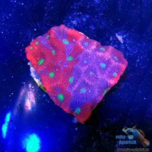Favia war coral
